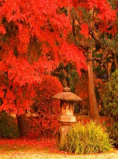 Япония цветение кленов2